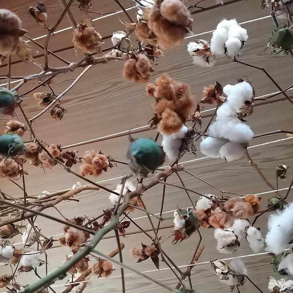 収穫した綿花