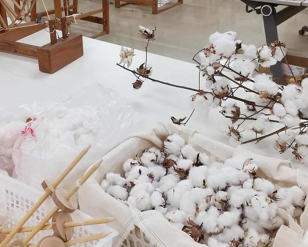 収穫した綿